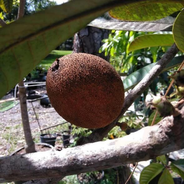 For sale all kinds of fruit trees I have large mamey trees, black sapote taste like puddingchocolate