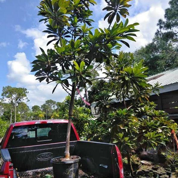 For sale all kinds of fruit trees I have large mamey trees, black sapote taste like puddingchocolate