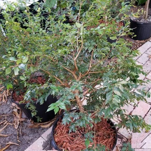 Jabotica tree , brazilian grapes